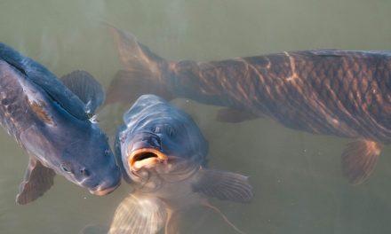 Karpervissen, een ideale anderhalve meter hobby